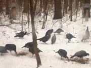 Turkey at feeder.jpg