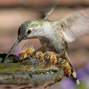 hummingbird-bees.jpg