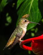 hummingbird-bee.jpg