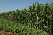 071104_soybeans-corn-2 - Copy.jpg