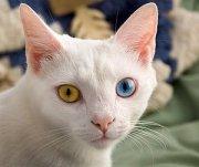 300px-June_odd-eyed-cat_cropped.jpg