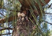 Pine .jpg