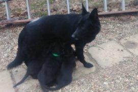 Dash and 4 pups.jpg
