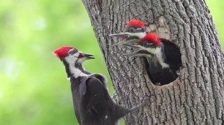 baby-pileated-fed-by-adult-min.jpg