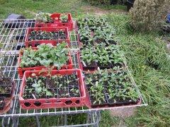 Seedlings peppers 3-6-2021 001.JPG