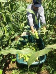Corn Harvest 7-2019c.JPG