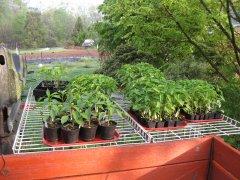 Pepper seedlings 4-10-21 001.JPG