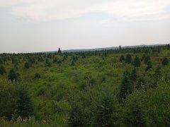 20210727_174324-newross-christmas-trees.jpg