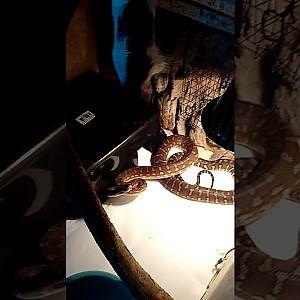 My bredli feeding on her 1st large rat