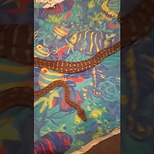 My Bredli python