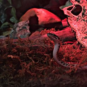 Pilbara Stimson Python