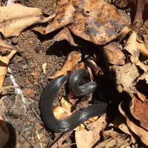 small eyed snake.JPG