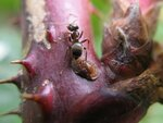 ant with scale insect.jpg