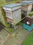 dead bees thrown out.JPG
