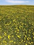 dandelions2.jpg