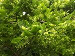 Lime2.jpg