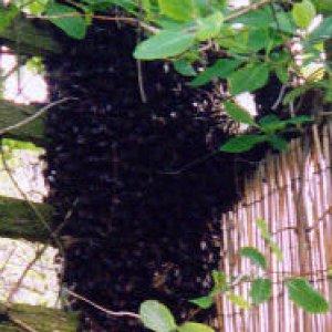 Bee Swarm May 2004