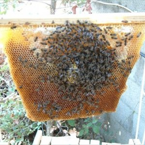 Hive2Comb...Queeny2 got moving and produced this nice bit of comb.