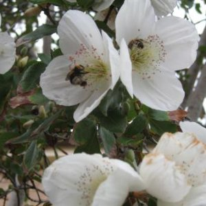 Bees on the beautiful eucryphia nymansensis tree.