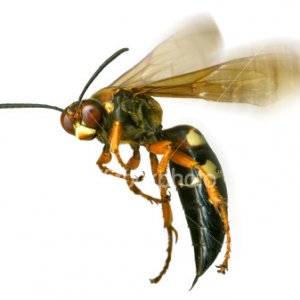 ist2 322068 monster wasp