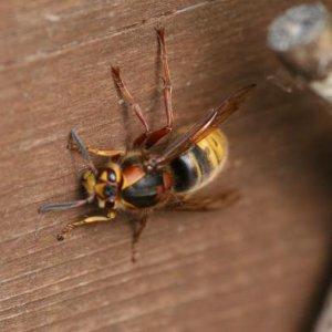 queen median wasp