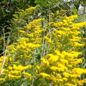 Bees on solidago