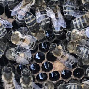 Hive 1, split. New queen seen on arrival