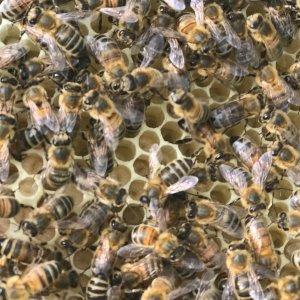 Hive 2, cast swarm, queen seen