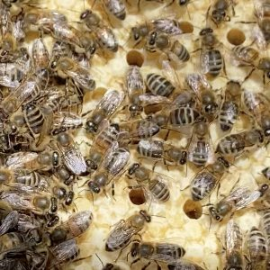 New, merged hive. Queen, capped brood, larvae