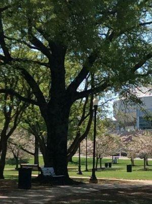 Decent tree around big springs lagoon  4-4-16.jpg