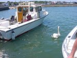 Attack of the Swan, Plymouth, MA.jpg