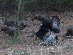 male turkey flaring_033004 (Small).JPG