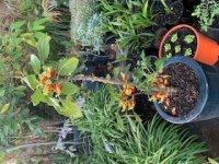 Congo Plant.jpg