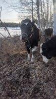 Cows 3.jpg