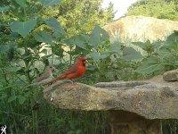 cardinal pair.jpg