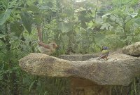 cardinal and bunting.jpg