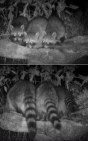 September raccoons.jpg