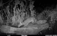 ring tail cat2.jpg