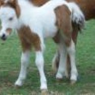 Witts Mini Horse Ranch