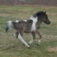 mini horse mania