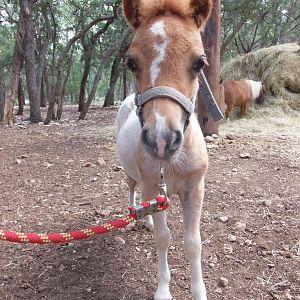 Miniature Stallion's