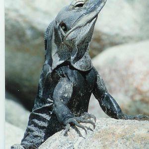 cabo lizard.jpg