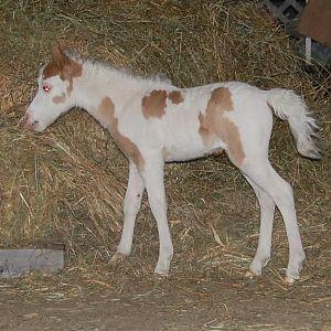 filly 1 week old.jpg