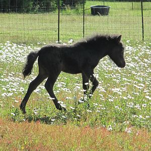 Our colt CCR Mighty Hot Salsa (pending) Rico!