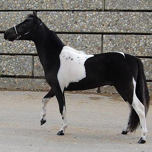 28 inch yearling colt.jpg