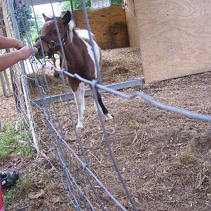 my grandson feeding the foal