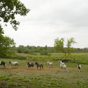 Minis coming from Pasture Sept 2011 B.jpg