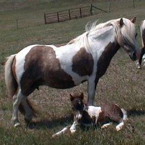 Muhlvehill's Little Sweet AMHA/AMHR mare