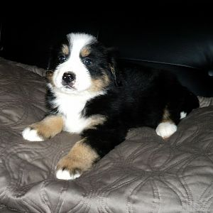 Bordernese pup