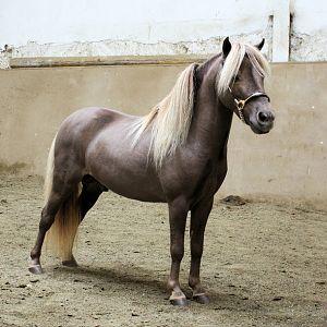 All Ireland Champion stallion